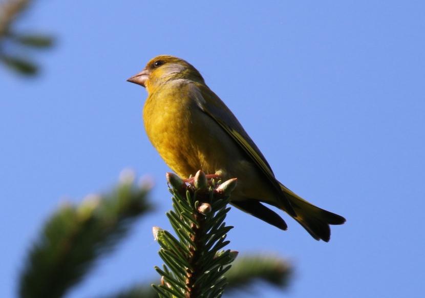 Ein Grünfink hoch auf einer Tannenspitze