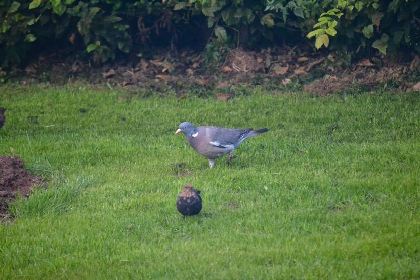 Taube im Garten