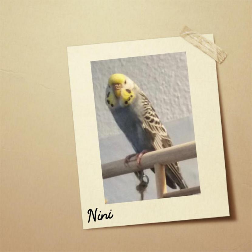 Nini blaue Henne Gelbgesicht