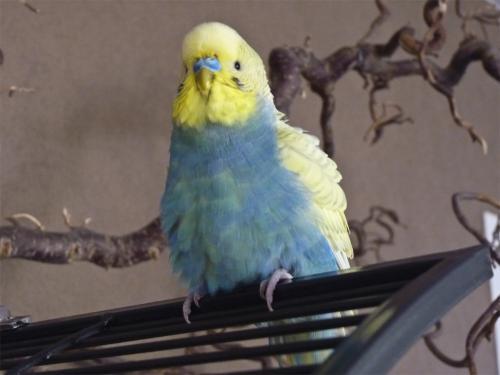 Wellensittich-Hahn gelber Kopf gelbe Flügel