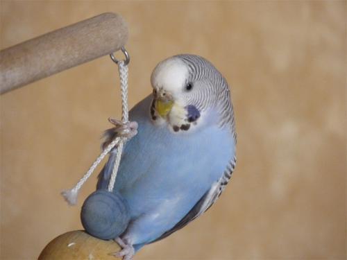 Wellensittich-Henne hängt auf Spielzeug