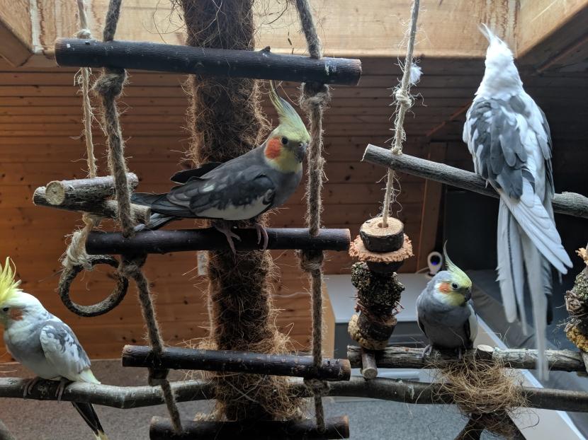 Nymphensittiche auf Vogelbaum