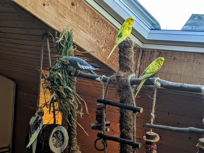 Wellensittiche und Nymphensittiche auf Vogelbaum 2