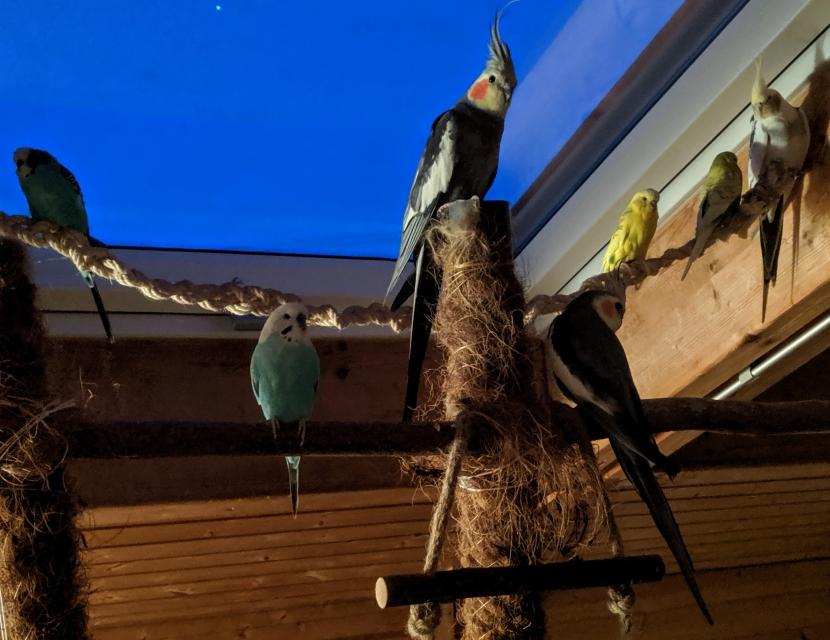Wellensittiche und Nymphensittiche auf Vogelbaum 3