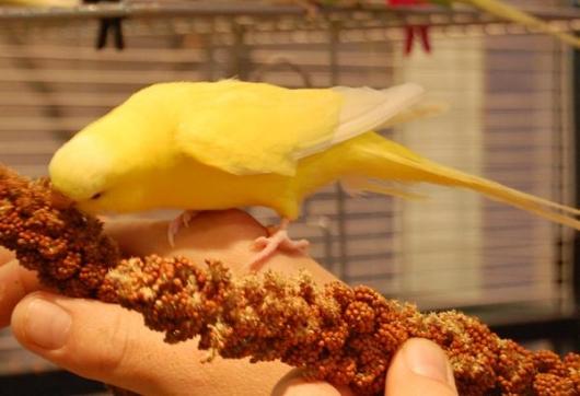 gelber Wellensittich frißt Kolbenhirse aus der Hand
