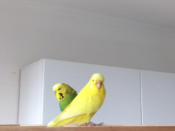 gelbe Wellensittich-Henne mit brauner Wachshaut