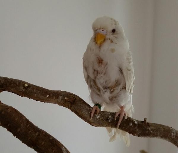 weiße Wellensittich-Henne ohne Federn am Bauch PBFD