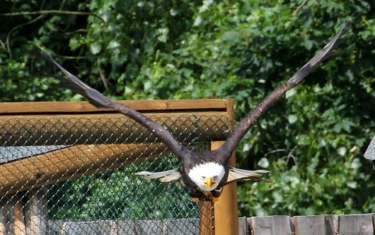 Anflug des amerikanischen Wappenvogels