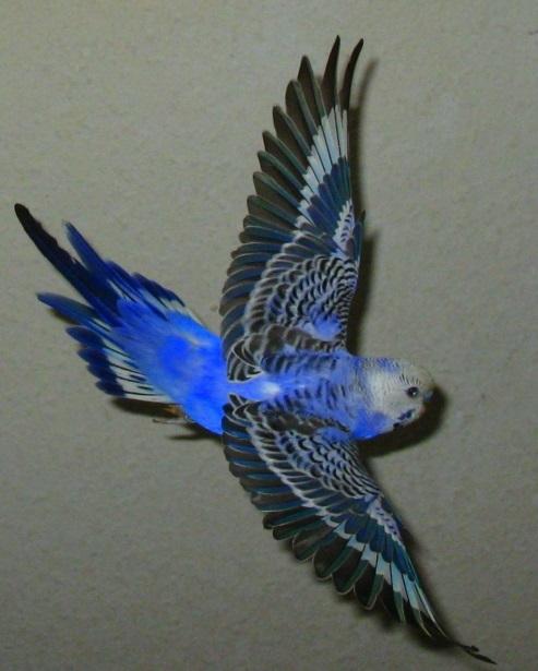 wellensittich fliegen