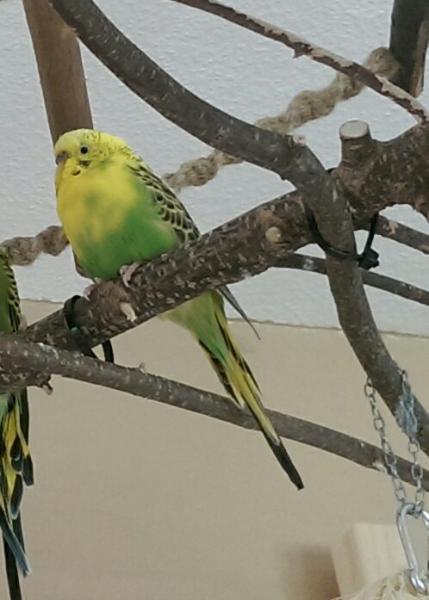 gelb-grüne Wellensittich-Henne entspannt