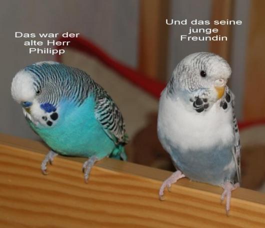 graublau-weiße Wellensittich-Henne Vermittlung