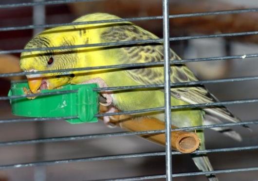 gelb-grüner olivgrüner Wellensittich knabbert