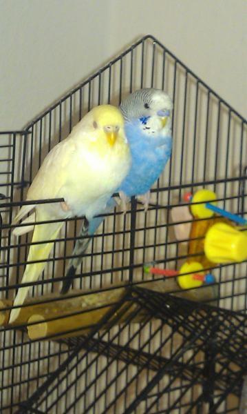 Lutino-Henne und hellblauer Hahn am Schlafen
