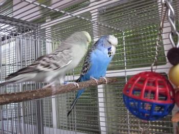 grauer blauer Wellensittich Paar