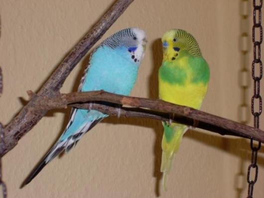 Wellensittich-Paar grüngelb hellblau