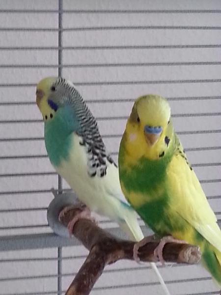 gelbgrüner türkis weißer Wellenisittich Paar