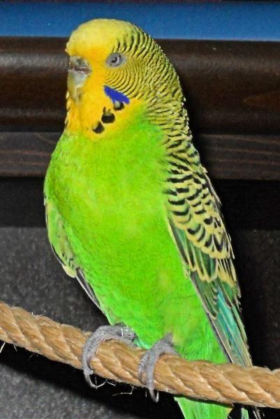 grüne Wellensittich-Henne Brutstimmung