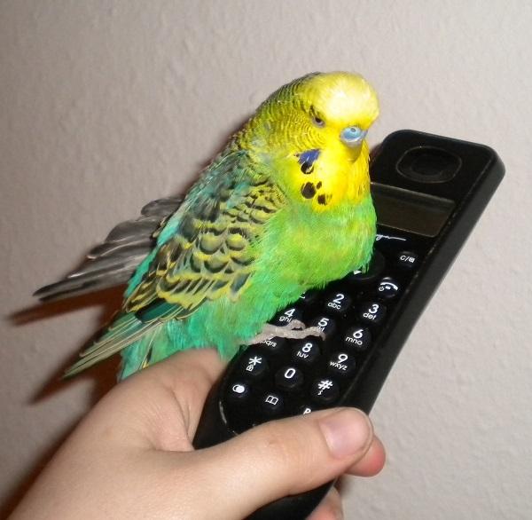 wellensittichtelefon