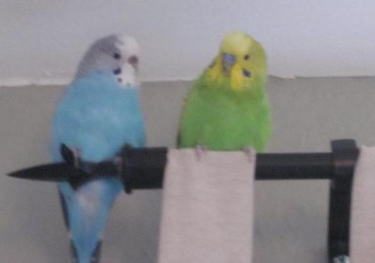 grüner hellblauer Wellensittich Paar