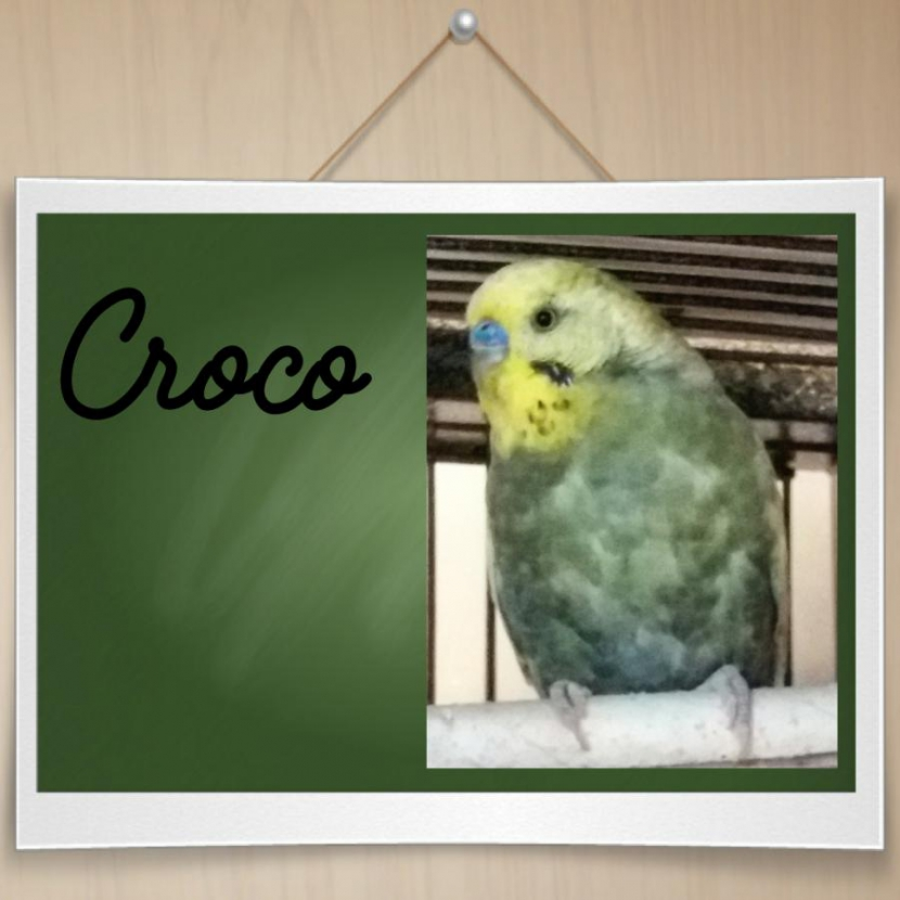 Choco grüner Hahn Gelbgesicht