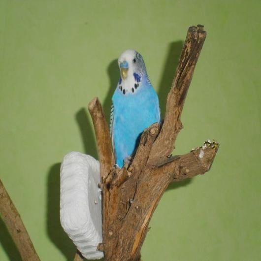 Blauer Kragen großer Hahn