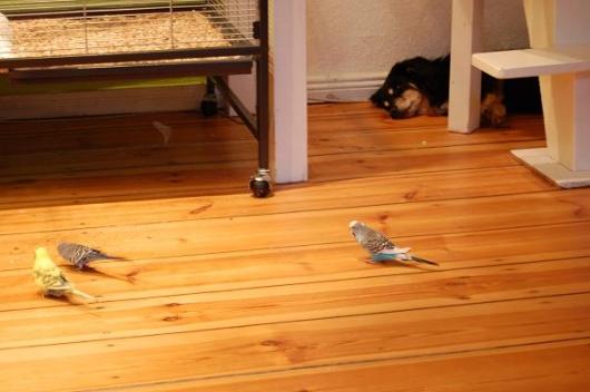 Wellensittiche auf dem Fußboden vor Hund