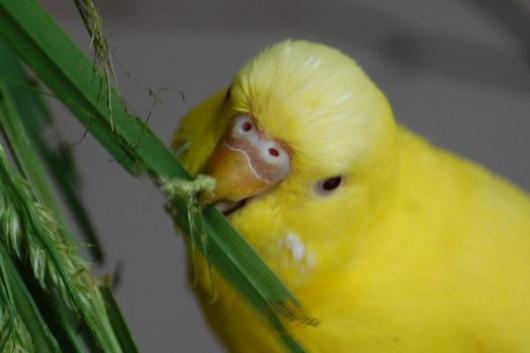 gelber Wellensittich knabbert Gräser