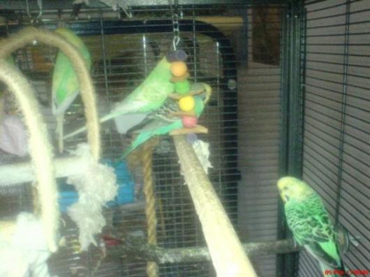 grüne gelbgrüne Wellensittiche im Käfig