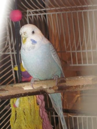 zartblaue himmelblaue hellblaue Wellensittich-Henne auf Sitzstange Abgabe Vermittlung Herne