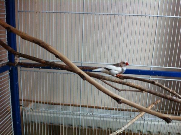 weiß-grauer Zebrafink-Hahn im großen Vogelkäfig