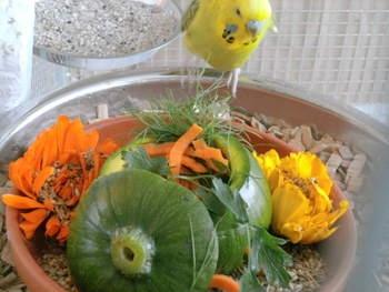 Zucchinit-pfchen-Wellensittich