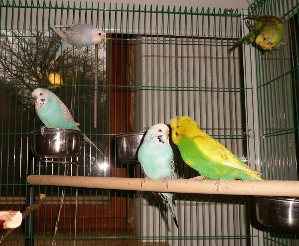 Wellensittiche im Vogelkäfig