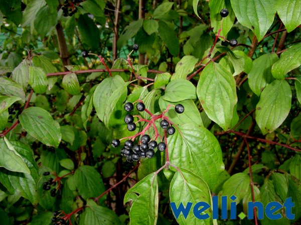 Wilde Beeren Für Wellensittiche Wellensittich Portal Wellinet
