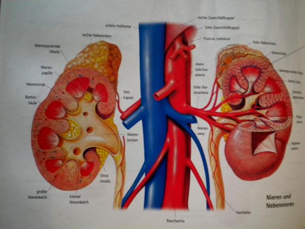 Nierenschwäche Symptome | Niereninfektion Wellensittich Portal Welli Net