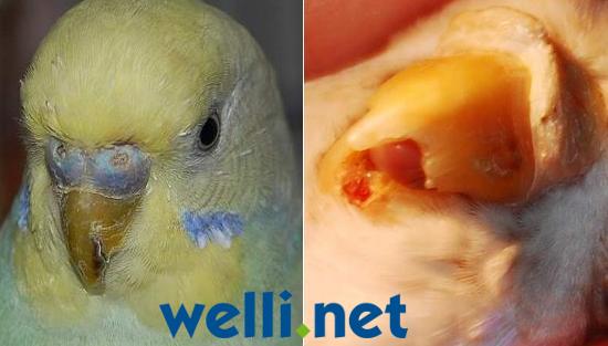 Knochenbrüche - Wellensittichkrankheiten - Wellensittich-Portal ...