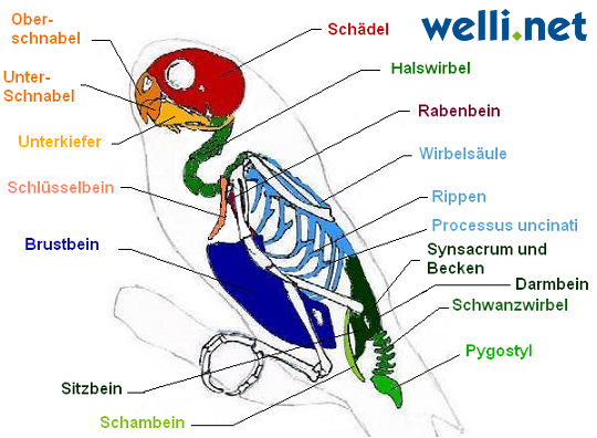 Das Skelett vom Wellensittich - Wellensittich-Portal Welli.net