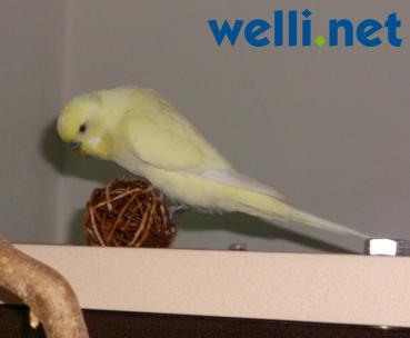 Wellensittich Klettergerüst : Wellensittich spielzeug portal welli