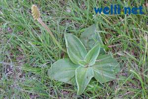 Breitwegerich - Plantago major