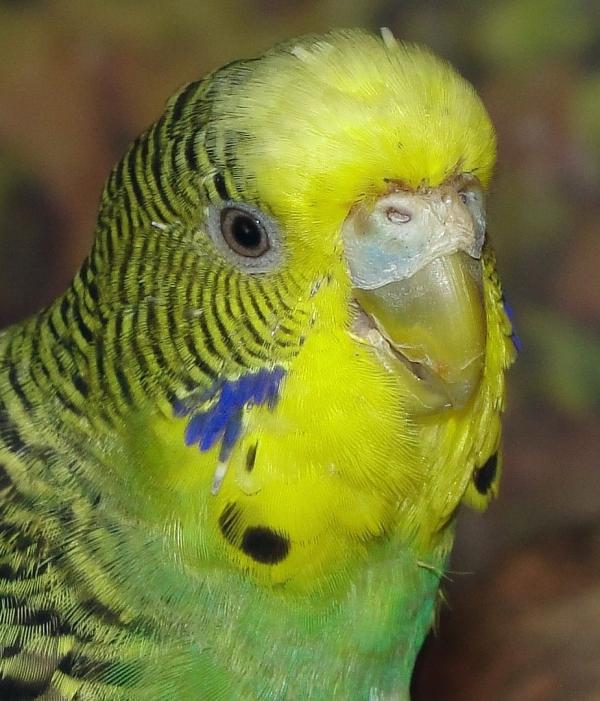 Kiwi wohnt jetzt bei den Vogelbaumwellis