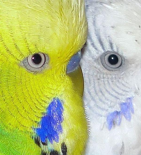 Zwei Welliaugen - ein Gesicht