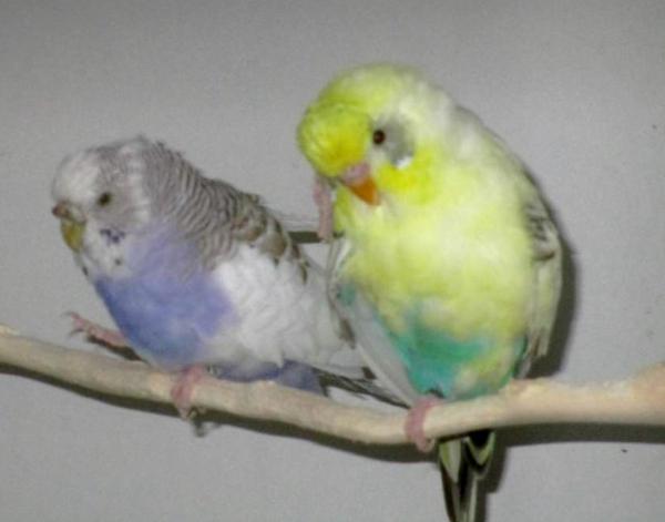 Der Felo den Vogel zeigen