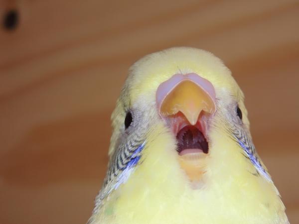 Polly gähnt