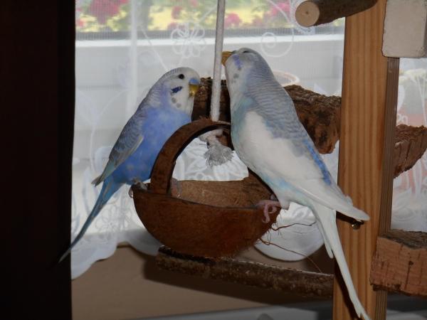 Zwei Ritter auf der Kokosnuss