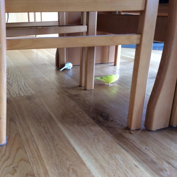wellensittich bild unter dem tisch wellensittich portal. Black Bedroom Furniture Sets. Home Design Ideas