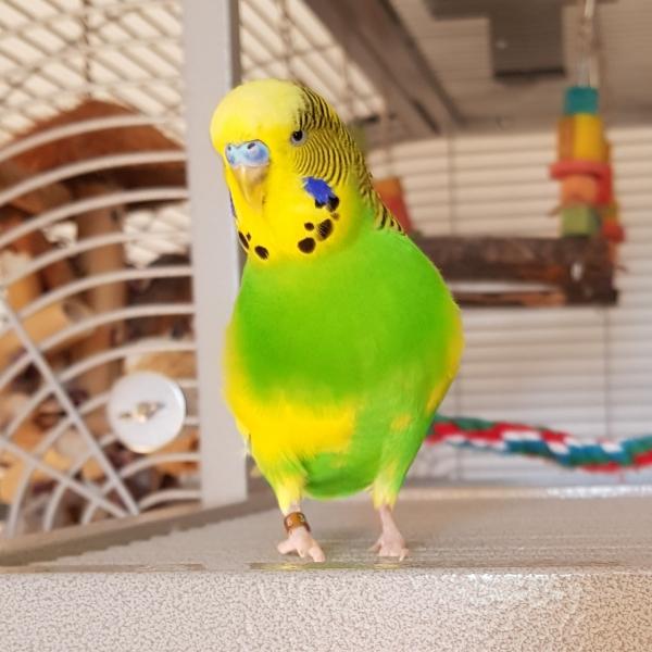 Mein Schwarmchef Elvis