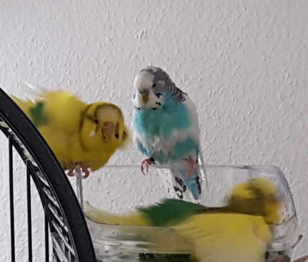 Badespaß bei den bunten Hühnern