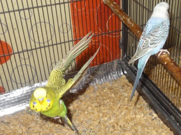 Kiwi fliegt im Käfig
