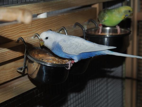 Hedwig am Futternapf