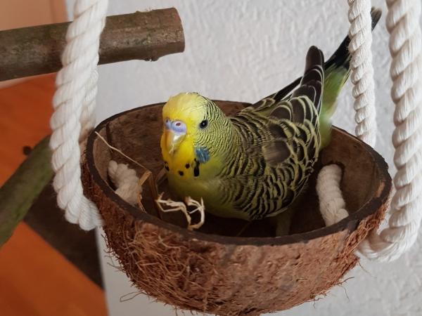 Woody in der Kokosnuss