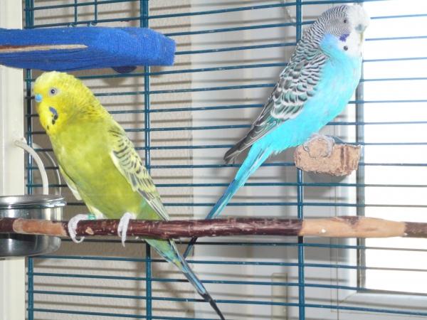 Wellensittich Klettergerüst : Wellensittich bild henry olivgrün mit niels blau